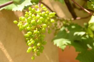 Wijnranken - Druiven - Gratis Stockfotos Hands-On Advies